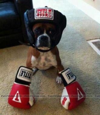 अजीब बॉक्सर कुत्ते के चित्र
